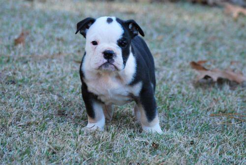 Old English Bulldog Adult Dog Thunder