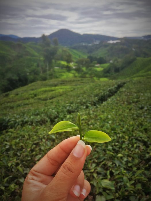 BOH Tea Plantation at Cameroon Highlands, Malaysia - I never shared my real time location during my entire solo backpacking trip
