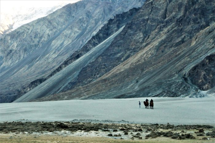 The most famous double humped camels and white sand dunes at Hunder, Nubra Valley.