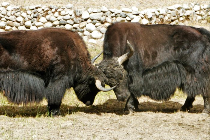 I witnessed this real Yak fight for almost half an hour.