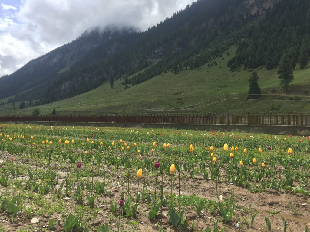 Tiny tulip garden beside the Guest House at Dawar, Gurez Valley
