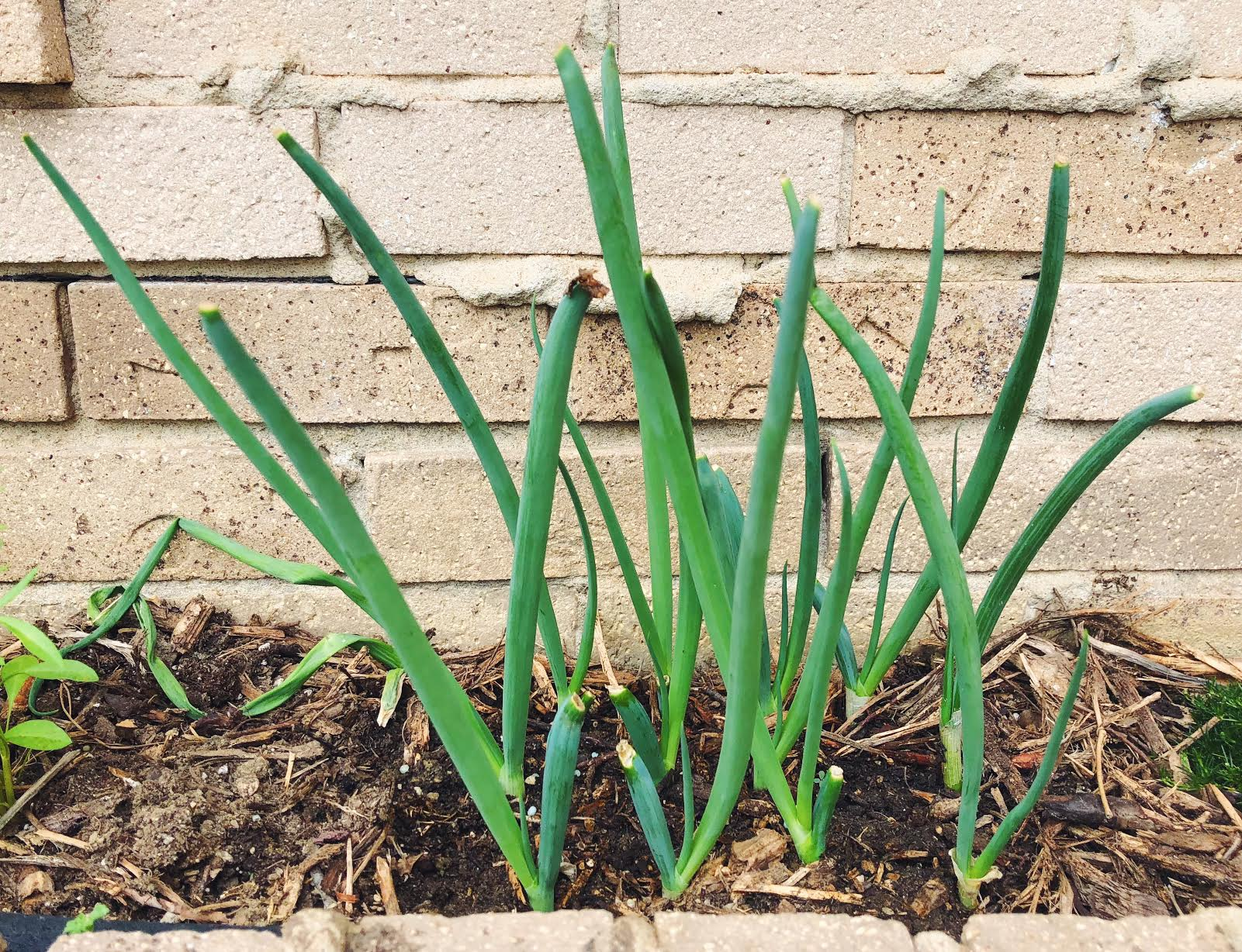 Green Onions Regrow?!