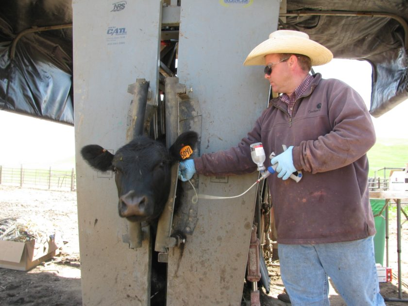 Silencer Hydraulic chute used for synchronizing heifers.