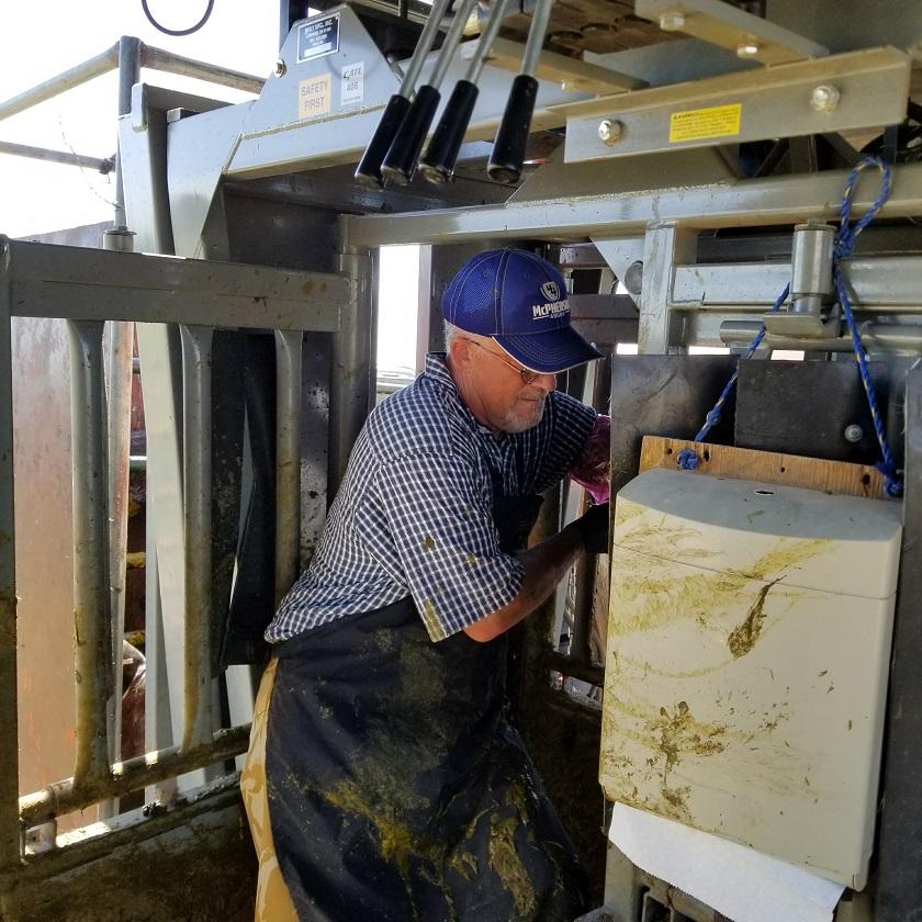 Breeding Heifers in Ranch Model SILENCER Chute