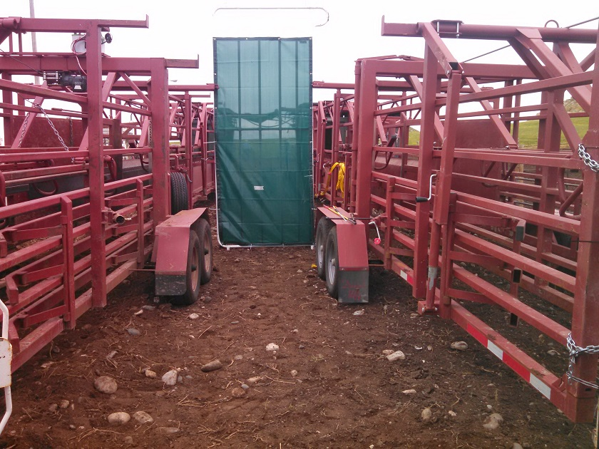 Using Daniels Alleyways for a Heifer Breeding Project.