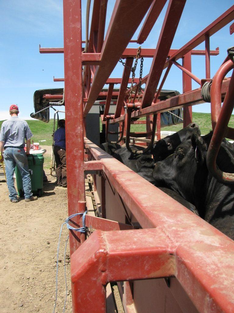 Cattle in Portable Daniels Alley
