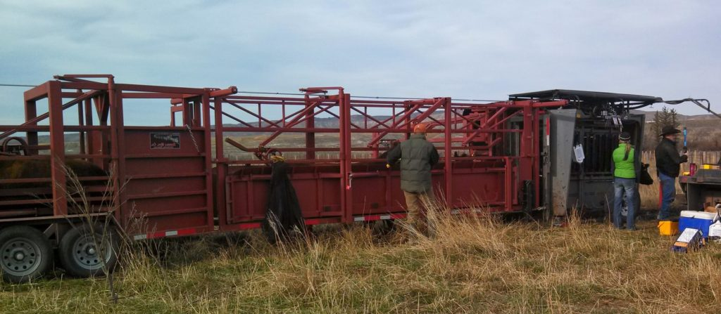 Daniels alley and SILENCER Hydraulic Chute in pasture for pregnancy checking.