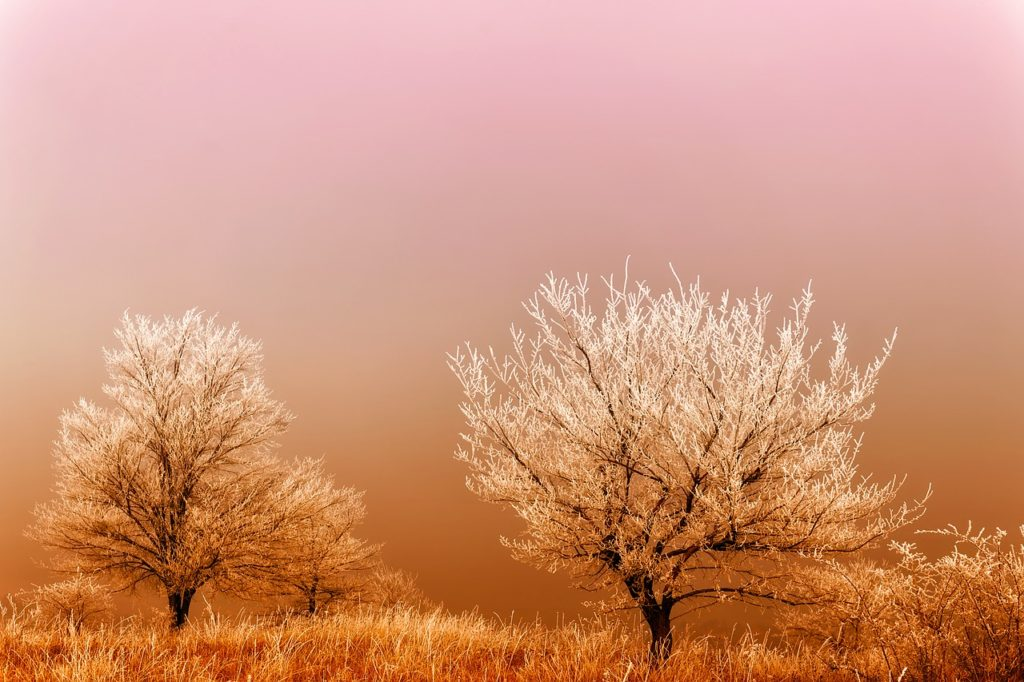 HoarFrost Covered Trees at Dawn