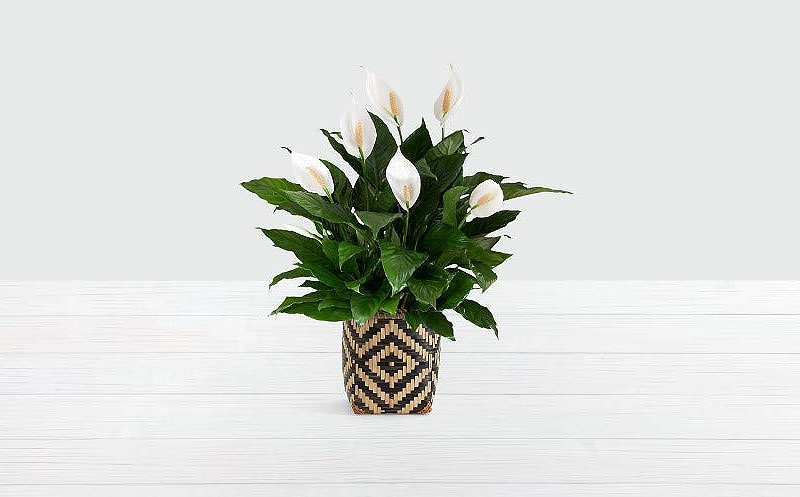 The Peace Lily is one of the best plants for improving indoor air quality.