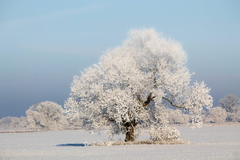 Snow Covered Tree in a Field Winter Scene