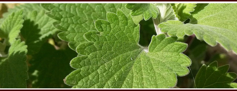Plant Catnip to Repel Mosquitoes