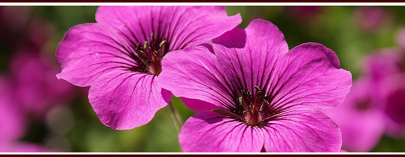 Plant Lemon Scented Geraniums to Repel Mosquitoes