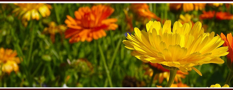 Plant Marigolds to Repel Mosquitoes