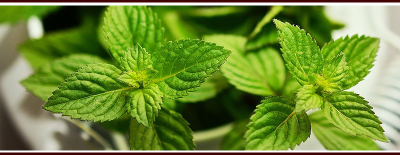 Plant Mint to Repel Mosquitoes