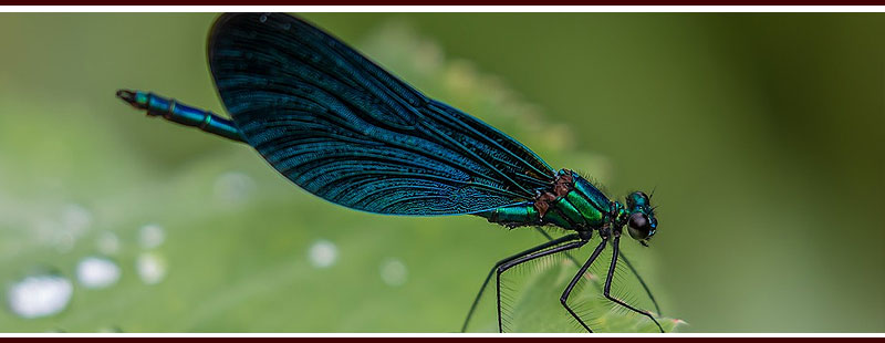 Plants that Attract Mosquito-Eating Dragonflies