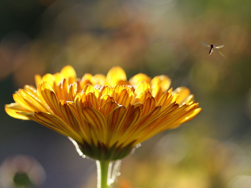 10 Garden Plants that Repel Mosquitoes Naturally
