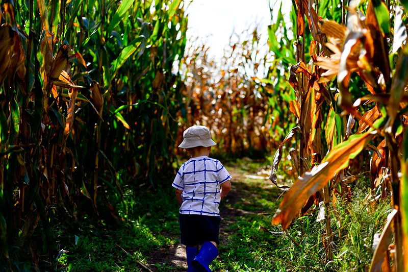 Explore a Corn Maze Together