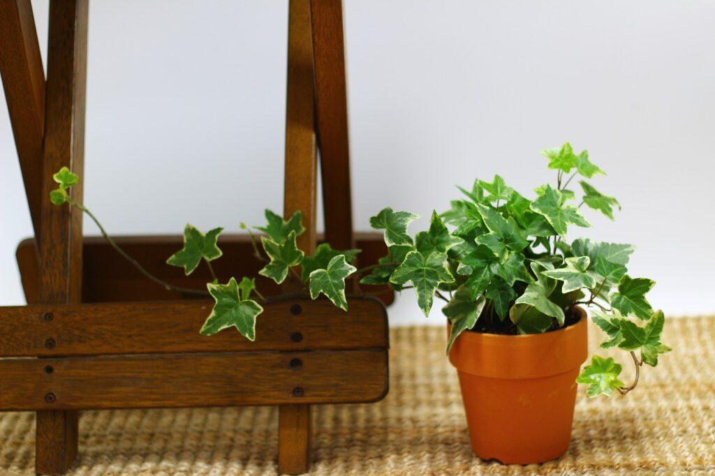 Best Air Purifying Houseplants for Your Home | English Ivy