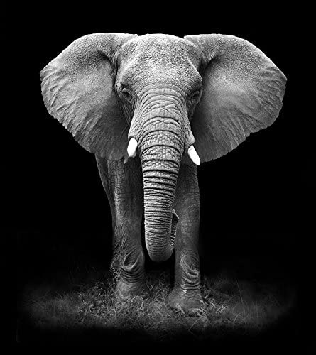 African Elephant Black & White Art Print