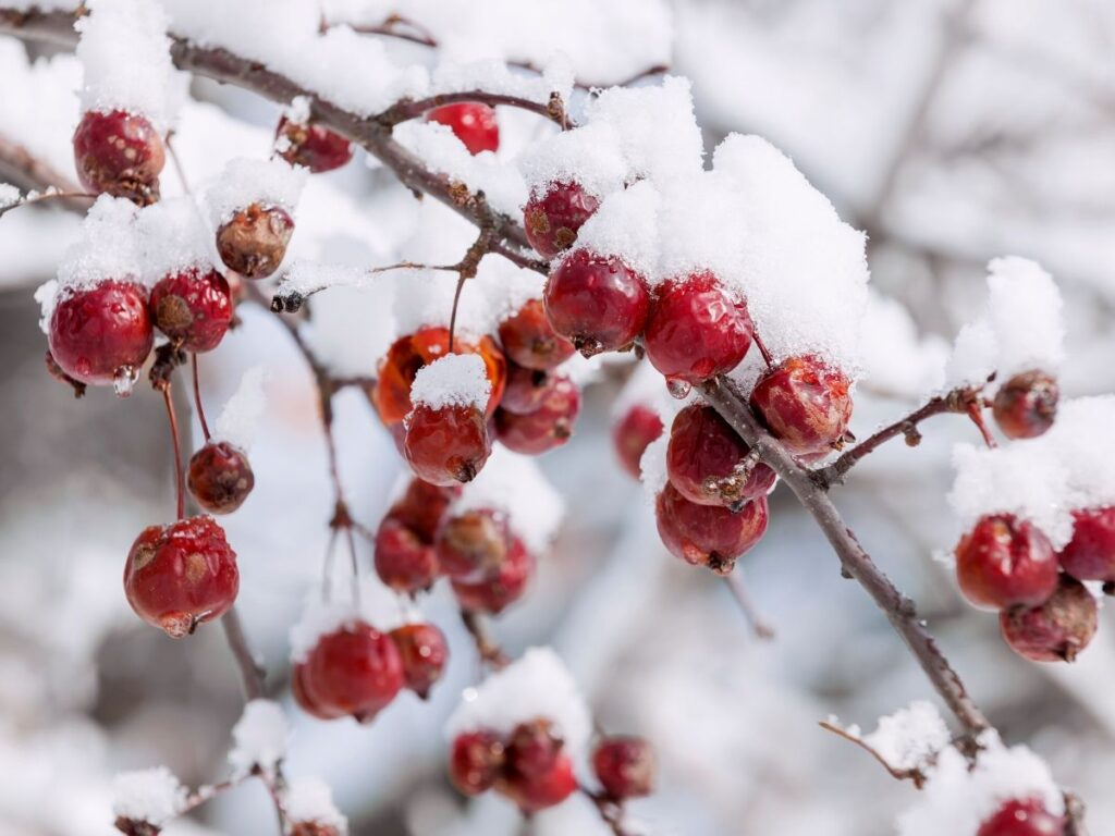 Crabapple Berries in Winter