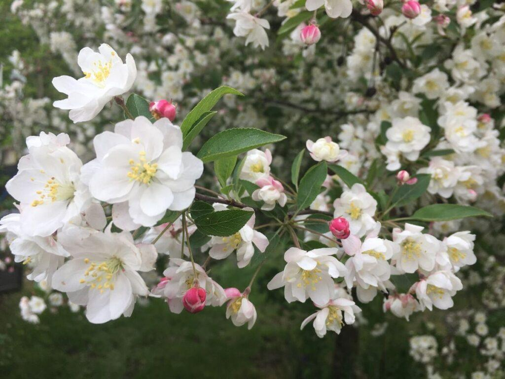Malus Charlottae Crabapple Tree Flowers
