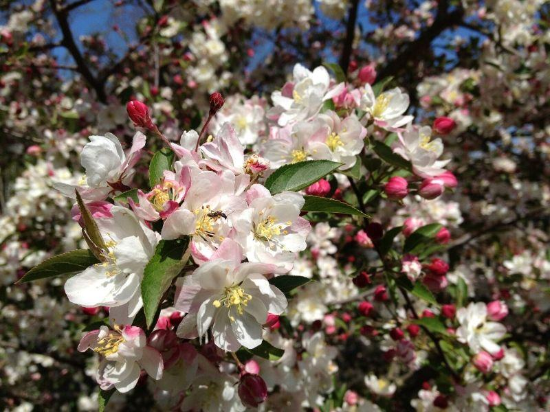 Malus Charlottae Crabapple Tree in Bloom