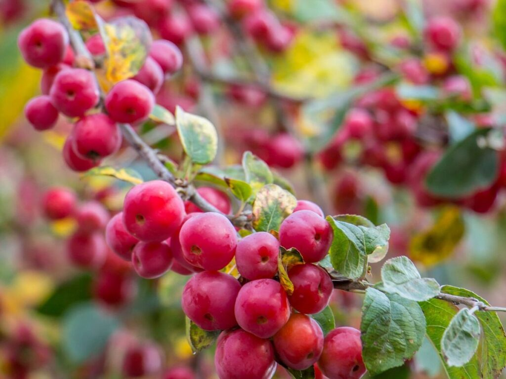 Tiny red berries on the updated varieties of crabapple trees