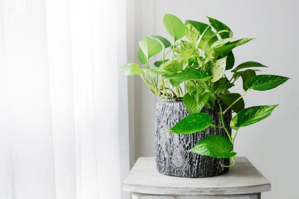 Air Purifying Golden Pothos in a rustic planter