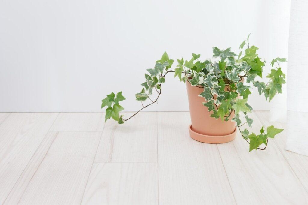 English ivy in a terracotta pot