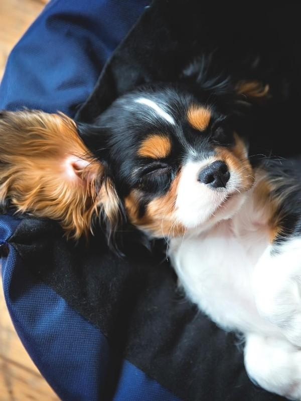 Cute Puppy Sleeing in Bed
