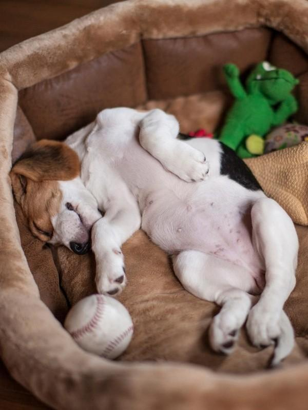 Cute Puppy Sleeping in Dog Bed on Back