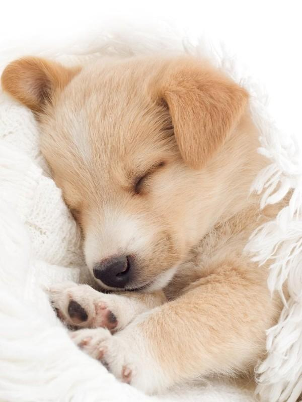 Picture of Cute Puppy Sleeping