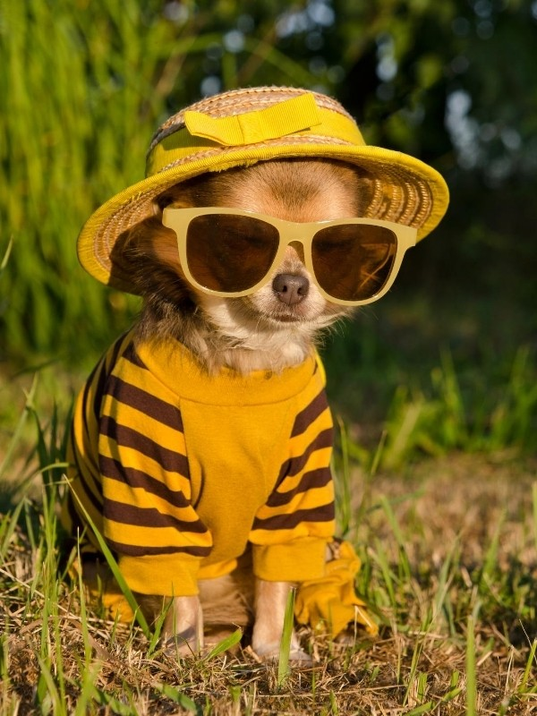 Puppy Dressed as a Cool Cat