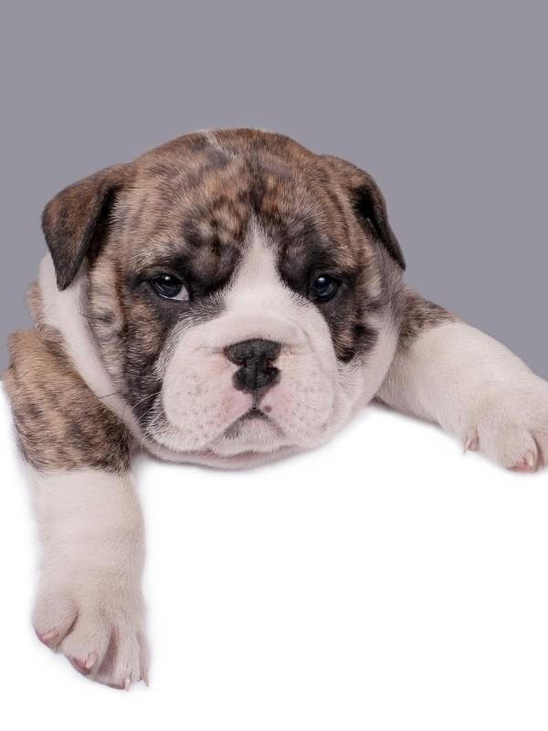 Puppy Looking Grumpy and Tired