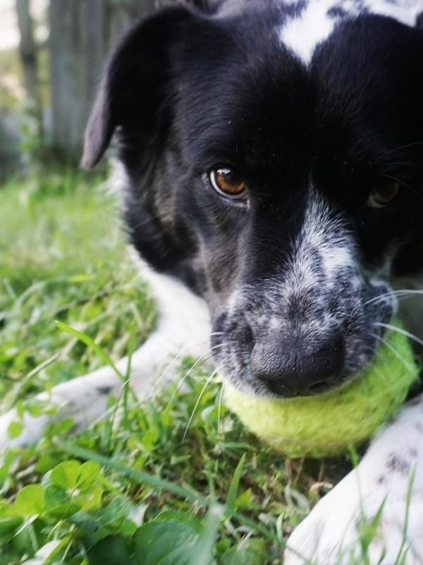 Puppy Playing Catch with Tennis Ball