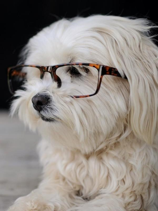 Puppy Wearing Glasses