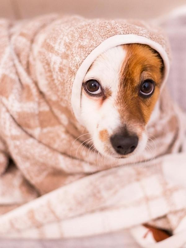 Puppy Wrapped Up After Bath Time