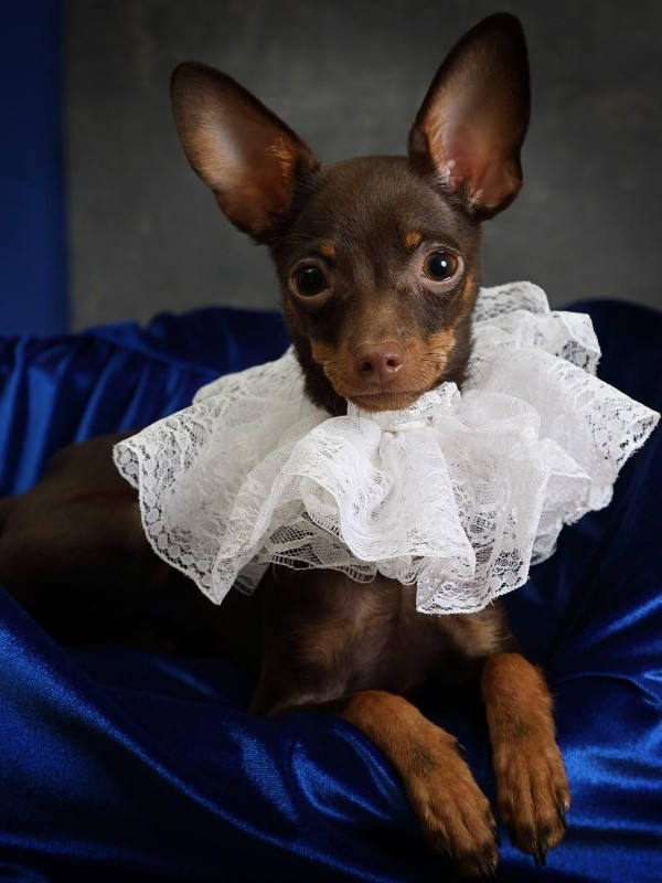 Puppy with Fancy Lace Collar