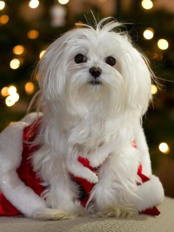Santa Puppy Outfit