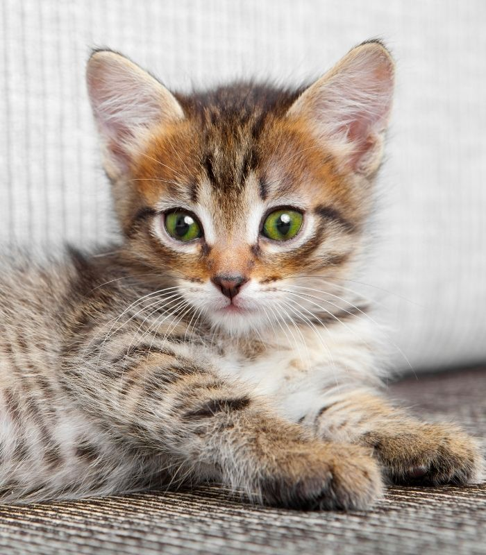 Adorable Kitten with Green Eyes Laying Down