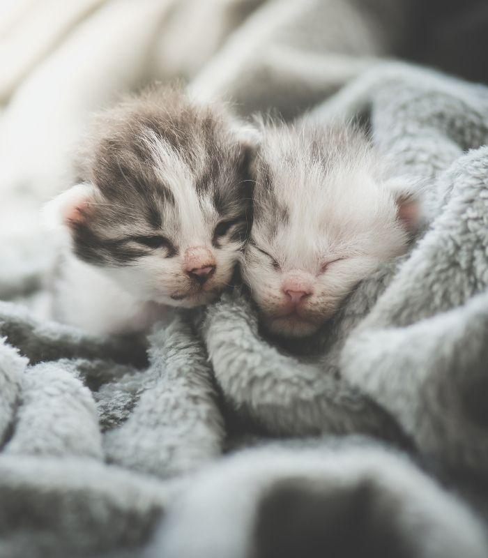 Baby Kittens Cuddling Together in Blanket