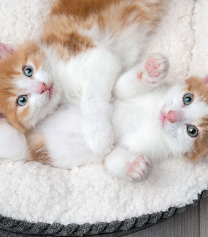 Baby Kittens Cuddling Together in Pet Bed