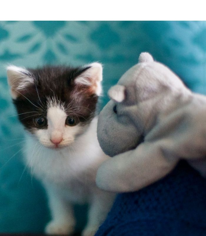 Cute Kitten with Toy
