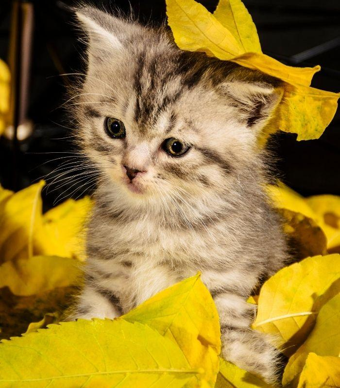 Kitten Playing with Leaves
