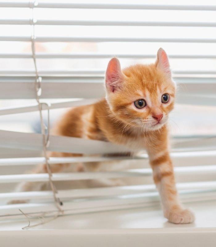 Orange Tabby Kitten Playing With Blinds