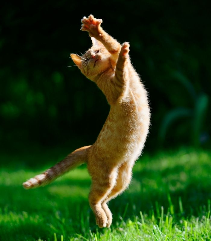 Tabby Kitten Leaping in the Air