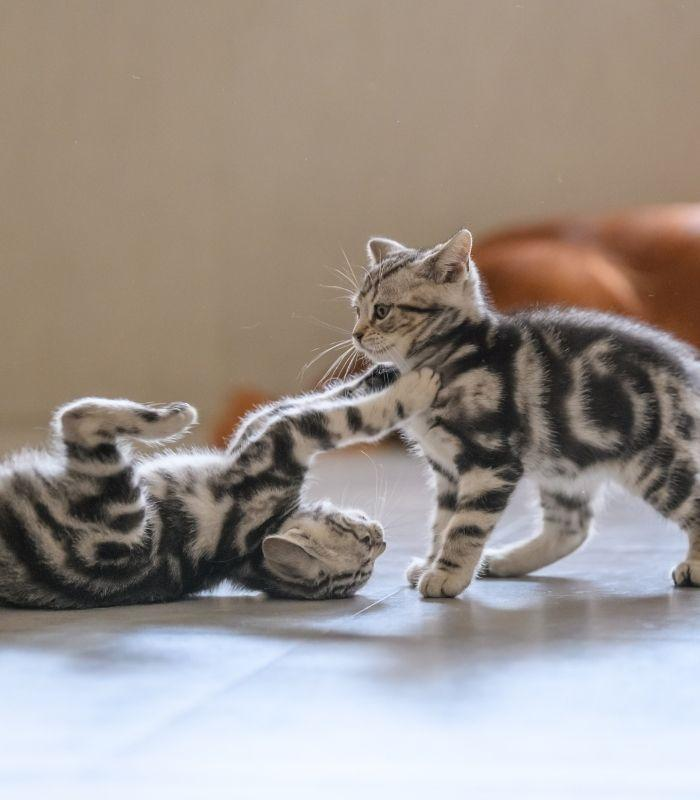 Two Kittens Playing With Each Other