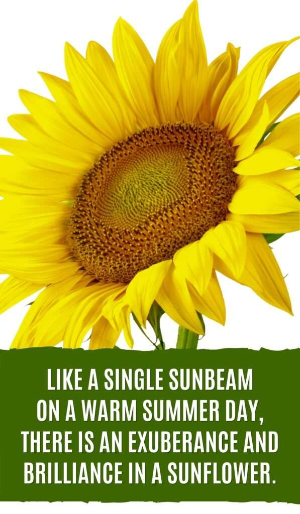 Like a single sunbeam on a warm summer day, there is an exuberance and brilliance in a sunflower.