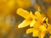 Spring Flowering Forsythia Bush