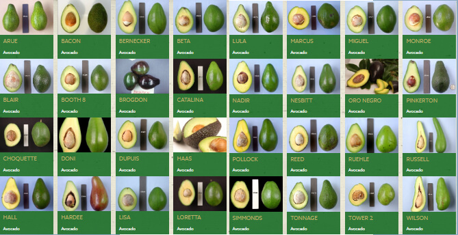 Some of the avocados grown in Miami, Florida
